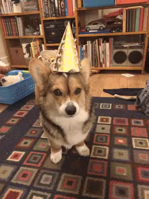 Watch and share Birthday GIFs and Corgi GIFs by nilloc on Gfycat