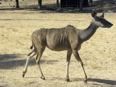 Watch and share Greater Kudu GIFs and Safari West GIFs on Gfycat