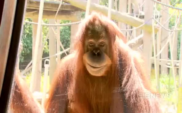 Watch The Smiling Orangutan (Courtesy: Channel Nine News) GIF on Gfycat. Discover more related GIFs on Gfycat