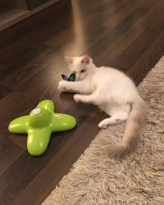 Watch and share Cats Video GIFs and Animan GIFs by Jessy on Gfycat