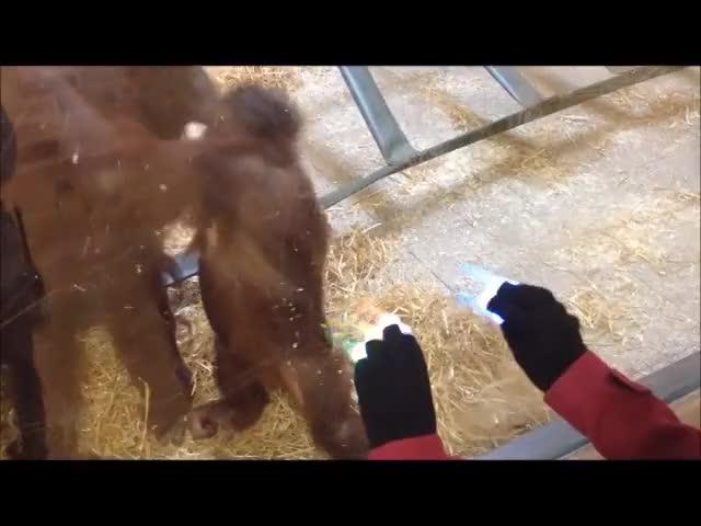 Watch Magic gloves hypnotizes orangutan GIF by Jackson3OH3 (@jackson3oh3) on Gfycat. Discover more Ape (Animal), Orangutan (Animal), Twycross Zoo (Zoo) GIFs on Gfycat