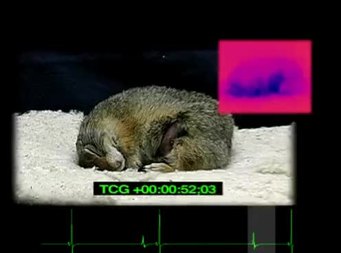 Watch and share Hibernation Phenomenon Of Re-Warming Arctic Ground Squirrel With Infrared Camera GIFs on Gfycat