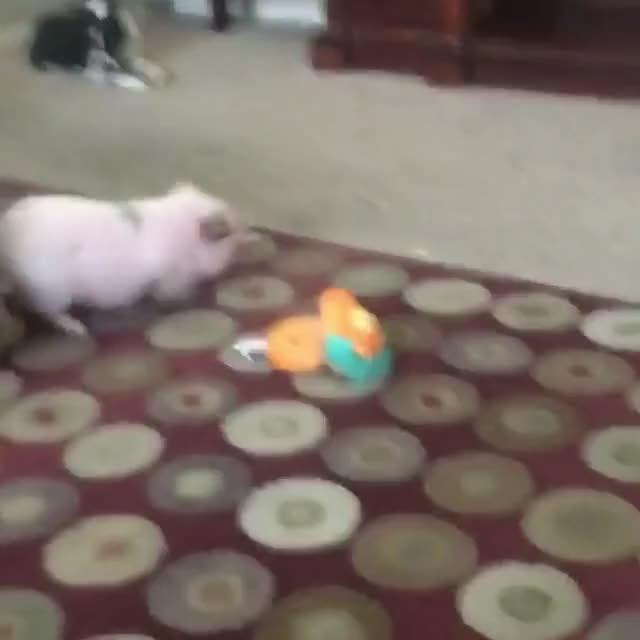 Watch and share Animals GIFs and Zoomies GIFs by lnfinity on Gfycat