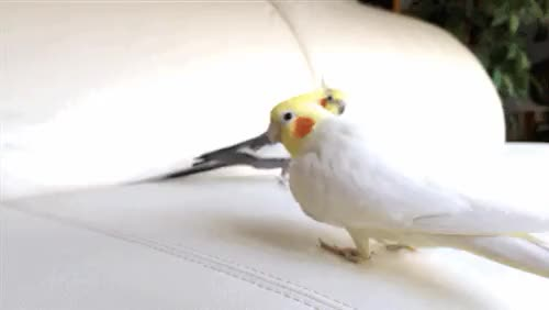 Watch and share Normalgrey GIFs and Cockatiel GIFs on Gfycat