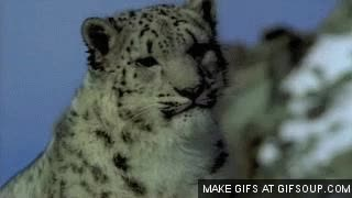 Watch and share Leopard GIFs on Gfycat