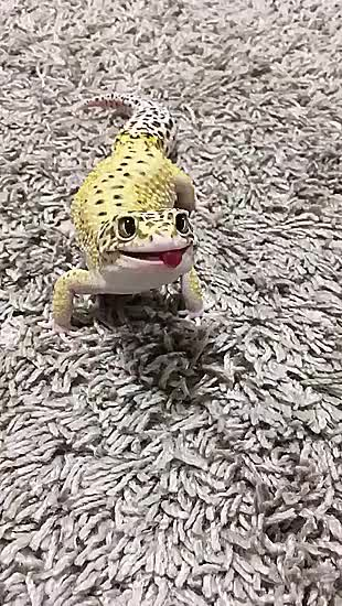 Watch and share Hungry Hungry Gecko GIFs by likkaon on Gfycat