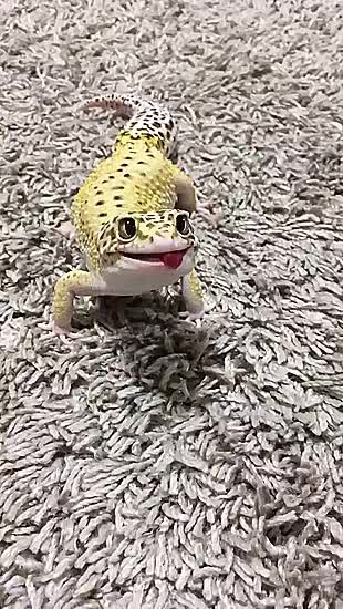 Hungry hungry gecko GIFs