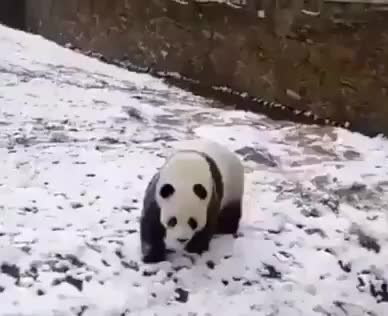 Panda enjoying the snow GIFs