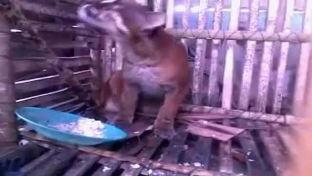 Watch HEBOH !!! BINATANG LANGKA ASLI INDONESIA GIF by @likkaon on Gfycat. Discover more animals, binatang, heboh GIFs on Gfycat