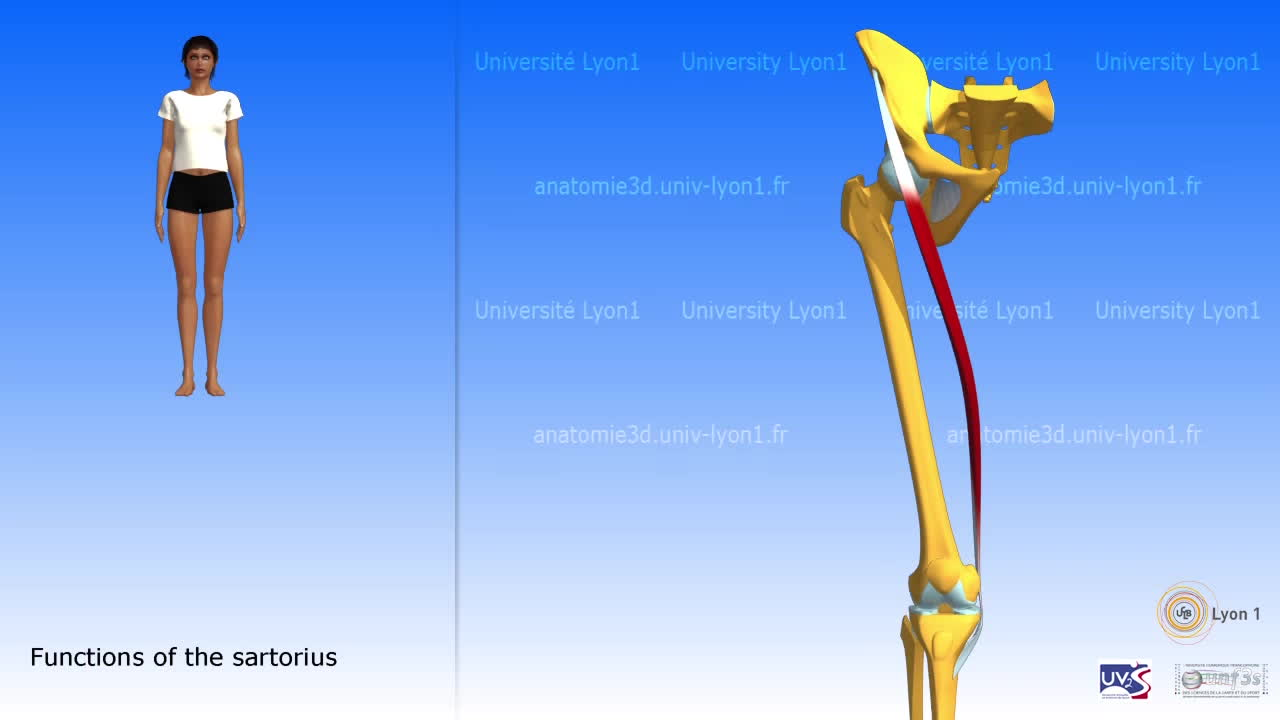 The Sartorius And The Muscles Of The Pes Anserinus Gif By Ot