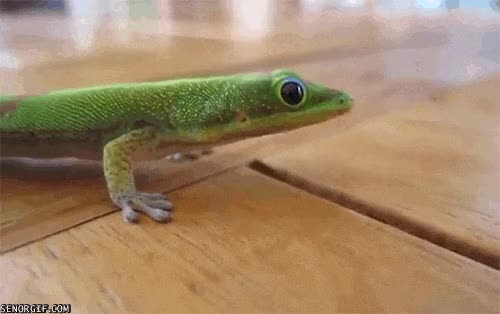 Watch and share Lizard GIFs on Gfycat