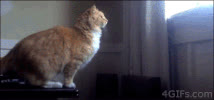 Fat Cat GIFs