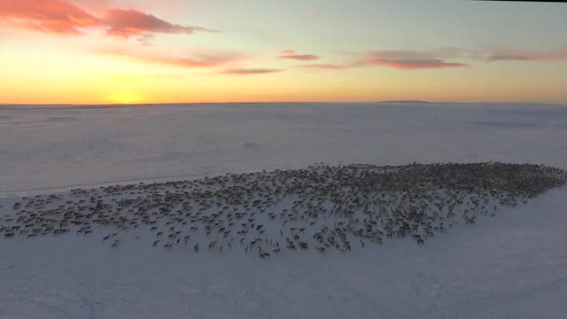 Watch A herd of reindeer going on the move in the Arctic GIF by tothetenthpower (@tothetenthpower) on Gfycat. Discover more nature GIFs on Gfycat