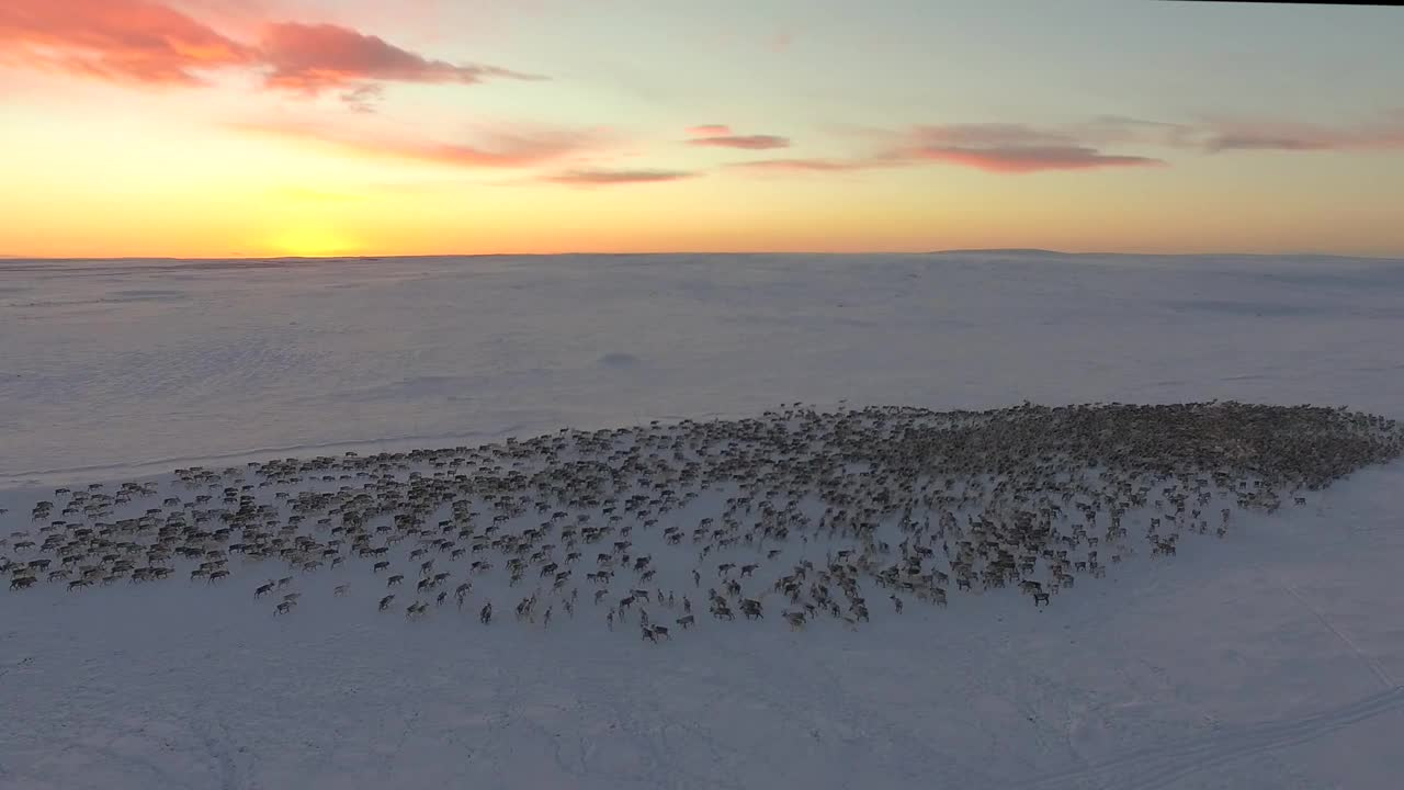 nature, A herd of reindeer going on the move in the Arctic GIFs