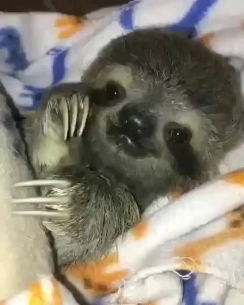 amazing, animal, animales, animalovers, animals, animalshots, animalsofig, animalstyle, awesome, cute, love, loveanimals, nature, sloth, smile, wilderness, wildlife, wildlife_vision, wildlifeig, wildlifeonearth, Good night 😍 From @theslothinstitute - - - - - GIFs