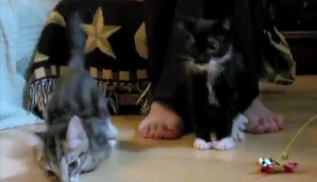 Black, Falling, Funny, Gray, Kittens, Lol, Falling Kittens GIFs