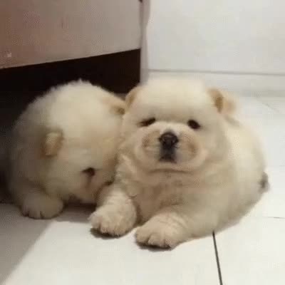Watch and share Chow Chow Puppies Kiss :D Mwa  :* ^^ GIFs on Gfycat