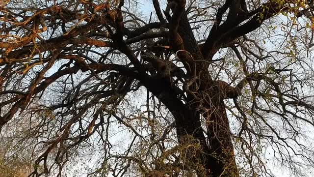 Watch and share Leopard Drops Kill GIFs by Londolozi Game Reserve on Gfycat