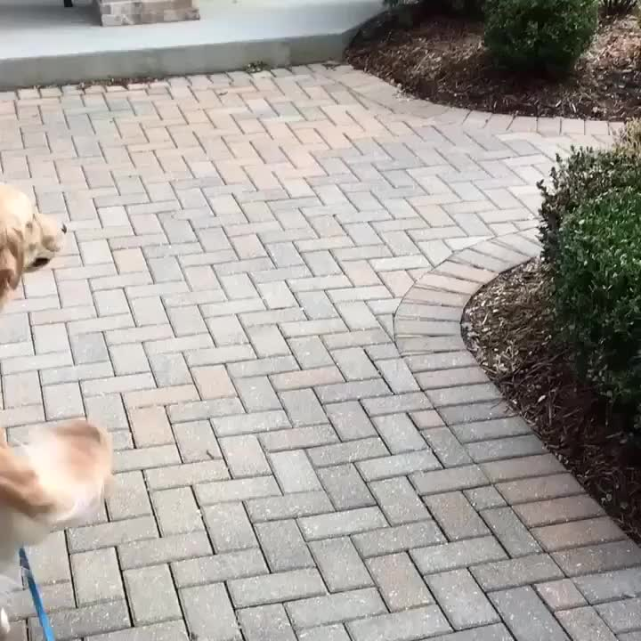 cute, dog, excited, golden, Golden sees his owner after 2 weeks apart GIFs