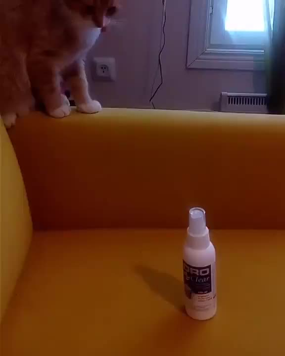 Watch and share /r/CatsBeingCats - From Laku_the_cat GIFs by cakejerry on Gfycat