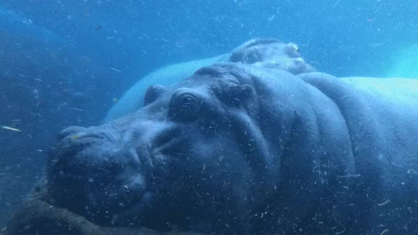 Watch and share Button The Hippo Comes In For Her Closeup GIFs on Gfycat