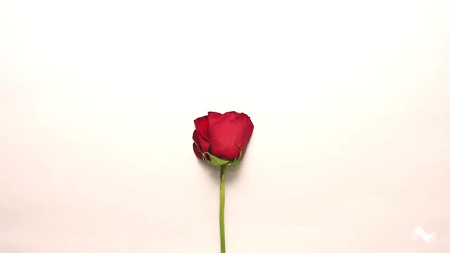 Watch and share Roses GIFs and Rose GIFs by Moodica on Gfycat