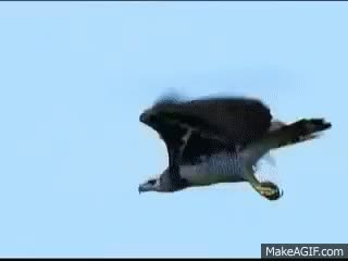 Watch and share Harpy Eagle On The Hunt.. GIFs on Gfycat