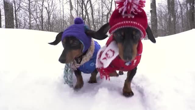 Watch this crusoe the dachshund GIF by Crusoe the Dachshund (@crusoe) on Gfycat. Discover more crusoe the dachshund, crusoe the wiener dog, dachshund, dachshunds, dogs, snow, snow day, snowday, wiener dog GIFs on Gfycat
