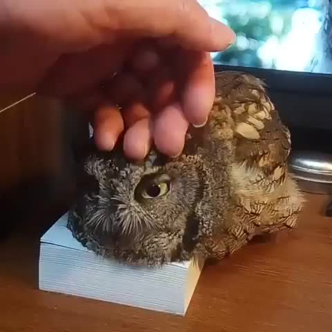 owl, Soft pets for this weird dog GIFs