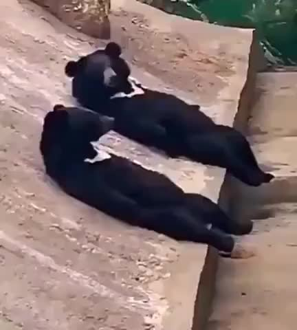 Bears Are Bros Too - gif