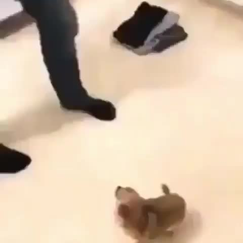 Pupper welcoming the new human to the family in his own way GIFs