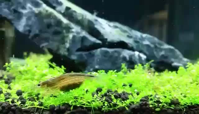 plantedtank, My Amano Shrimp and my amazingly pearling Cuba (reddit) GIFs