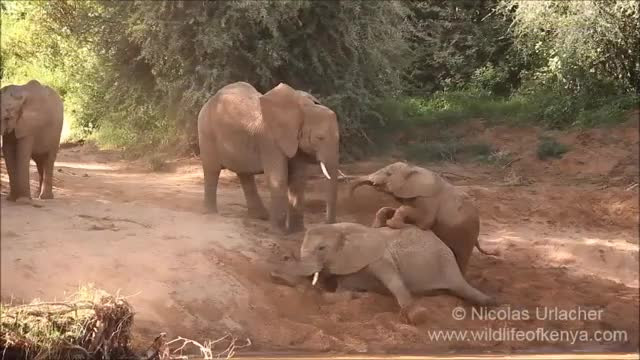Watch elephants calves playing GIF by PM_ME_STEAM_K3YS (@pmmesteamk3ys) on Gfycat. Discover more baby elephant, buffalo springs, calf, calves, elephant, endangered, herd, protection, samburu, wildlife GIFs on Gfycat