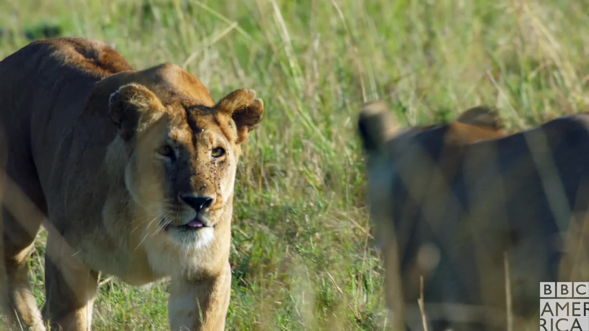 animal, animals, awww, bbc america, bbc america: dynasties, cute, dynasties, hug, hugs, lion, lions, love, Dynasties Lioness Mother Daughter Love GIFs