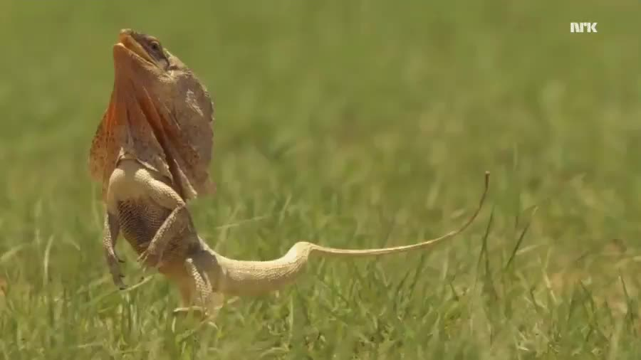 nature, Frilled lizard running on two legs GIFs