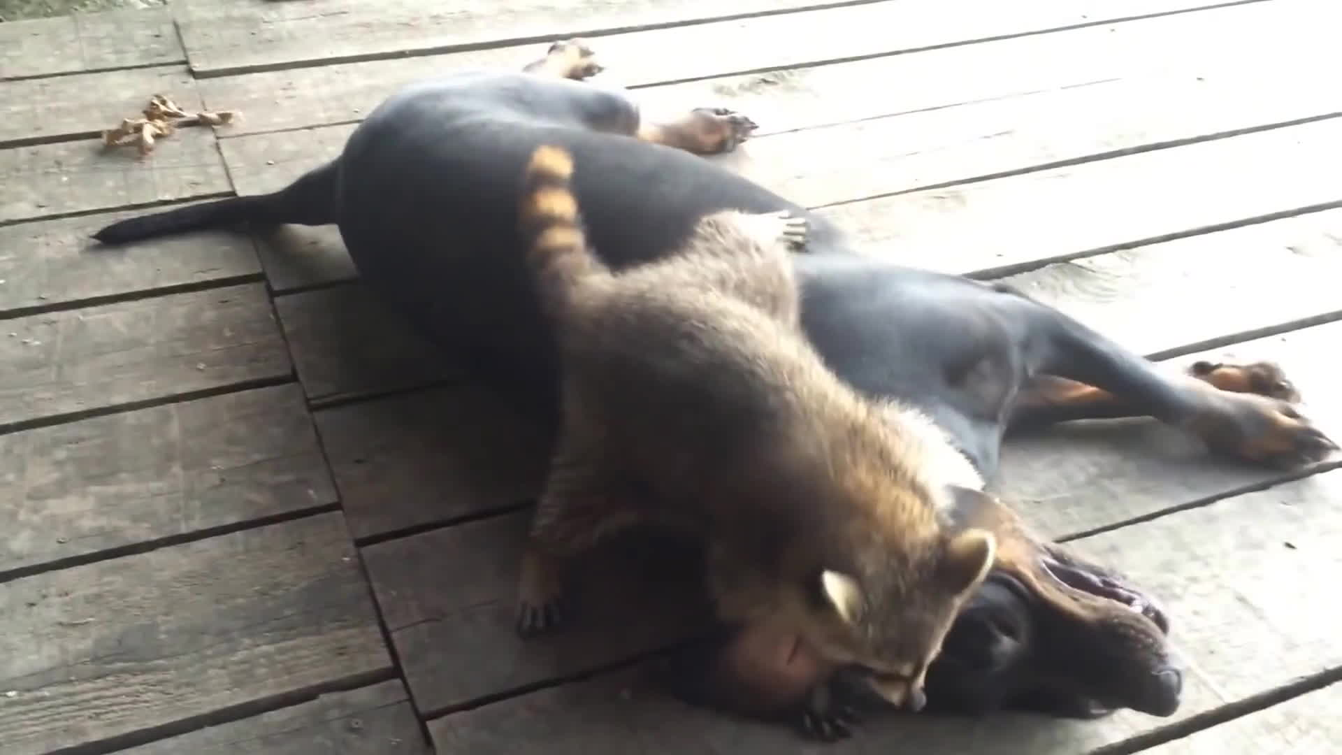 animal, animals, dog, raccoon, racoon, Let me teach you how to wrestle dog! :D GIFs