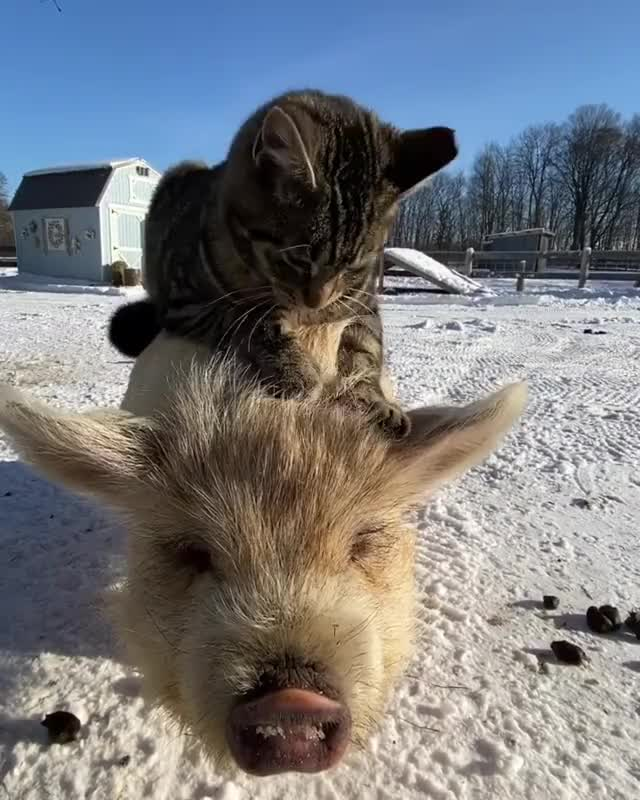 Watch and share Kunekune GIFs by b12ftw on Gfycat