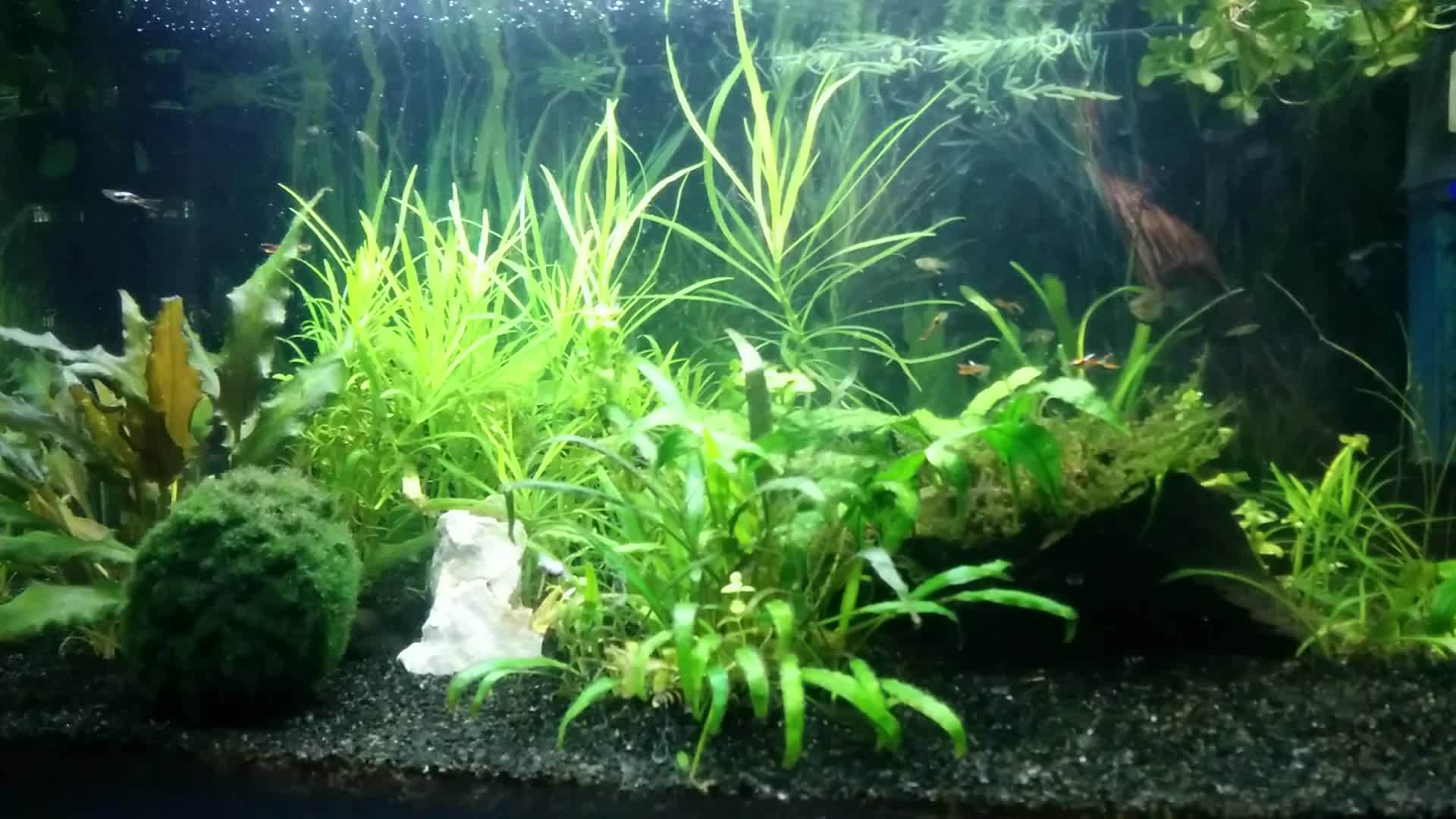 plantedtank, Here's my time lapse. Turbo endlers and assassin snails. (reddit) GIFs