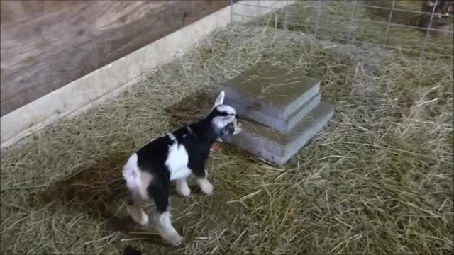 Watch this cute GIF by KNS Farm (@knsfarm) on Gfycat. Discover more cute, goat, goats, kid, knsfarm, parkour GIFs on Gfycat