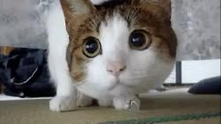Watch and share Gif Cat Funny Cute Eyes Looking Big Eyes Staring GIFs on Gfycat