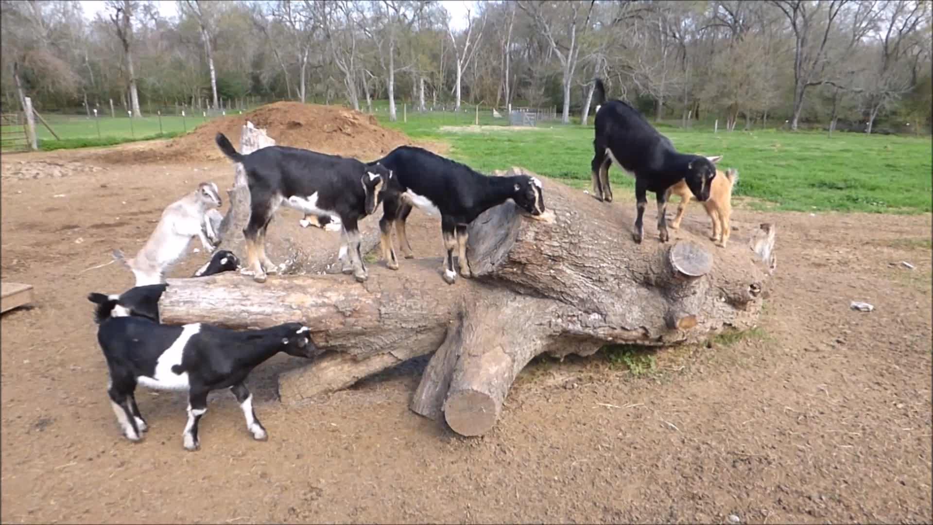 aww, cute, funny, goatparkour, knsfarm, Jump Jump GIFs