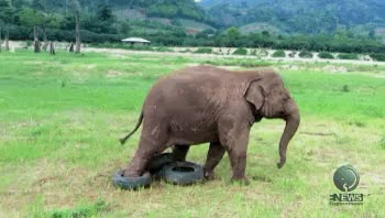 Watch and share Animals Playing GIFs and Baby Elephant GIFs on Gfycat