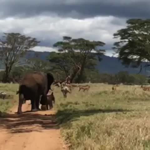 alwaysbravewithbackup, animalsofinstagram, batian craig, elephants, forwardsnotbackwards, lewa, lewawildlifeconservancy, 💪 @lewa_wildlife @jessachaplin GIFs