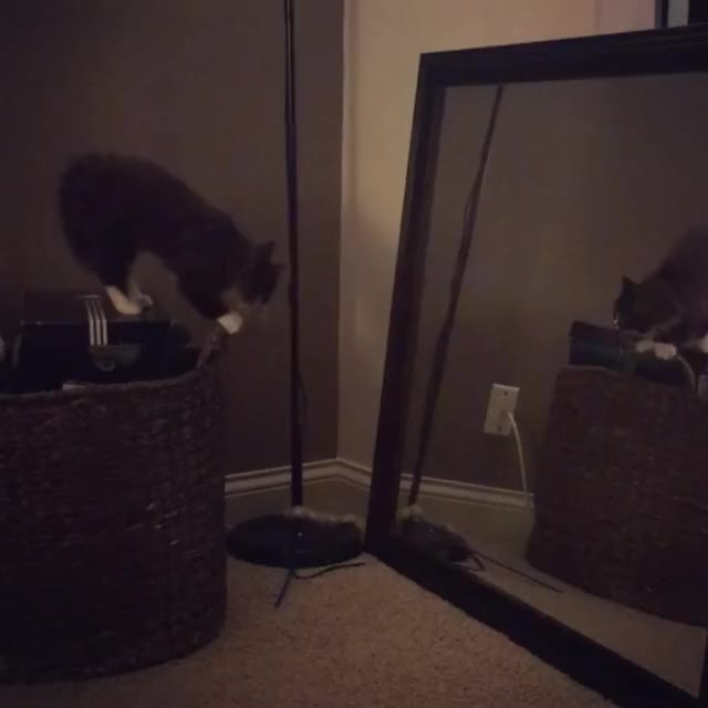 Watch this cat GIF on Gfycat. Discover more aww, cat, cats, mirror GIFs on Gfycat
