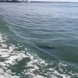 Watch beneath the surface GIF on Gfycat. Discover more I CAN FINALLY GIF THIS VIDEO, animal gif, cetacean, cetaceans, dolphin, dolphin gif, dolphins, florida, gulf of mexico, marine life, marine mammal, nature, ocean, ocean gif, ocean life, wild animal, wild dolphin, wildlife GIFs on Gfycat