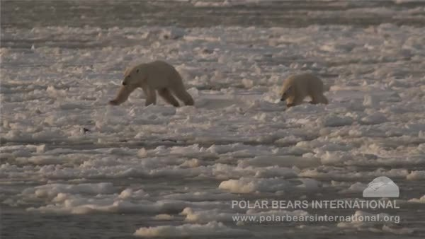 BearCubGIFs, bearcubgifs, Polar bear mother and cub making their way through thin sea ice. Spare a thought for the environment on Arctic Sea Ice Day (12th July) - what can you do to make earth a better place for all of us? (reddit) GIFs