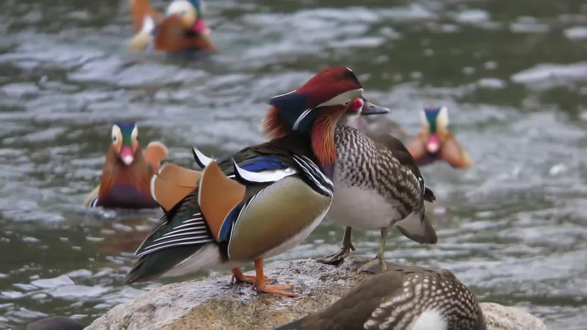 AIX, Birding, Japan, Mandarin, Mandarin Duck, duck, female, galericulata, male, ometrist, recommend, おしどり, おしどり夫婦, オシドリ, オシドリ夫婦, オシドリ観察小屋, 日野川, Mandarin Ducks GIFs