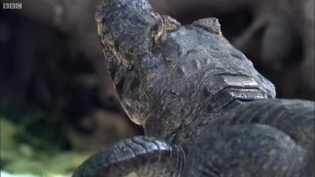 Watch and share Caiman Snatches And Kills Baby Stork GIFs on Gfycat
