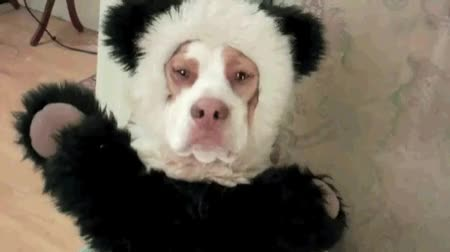 Watch awkward panda dog.gif GIF by Streamlabs (@streamlabs-upload) on Gfycat. Discover more related GIFs on Gfycat
