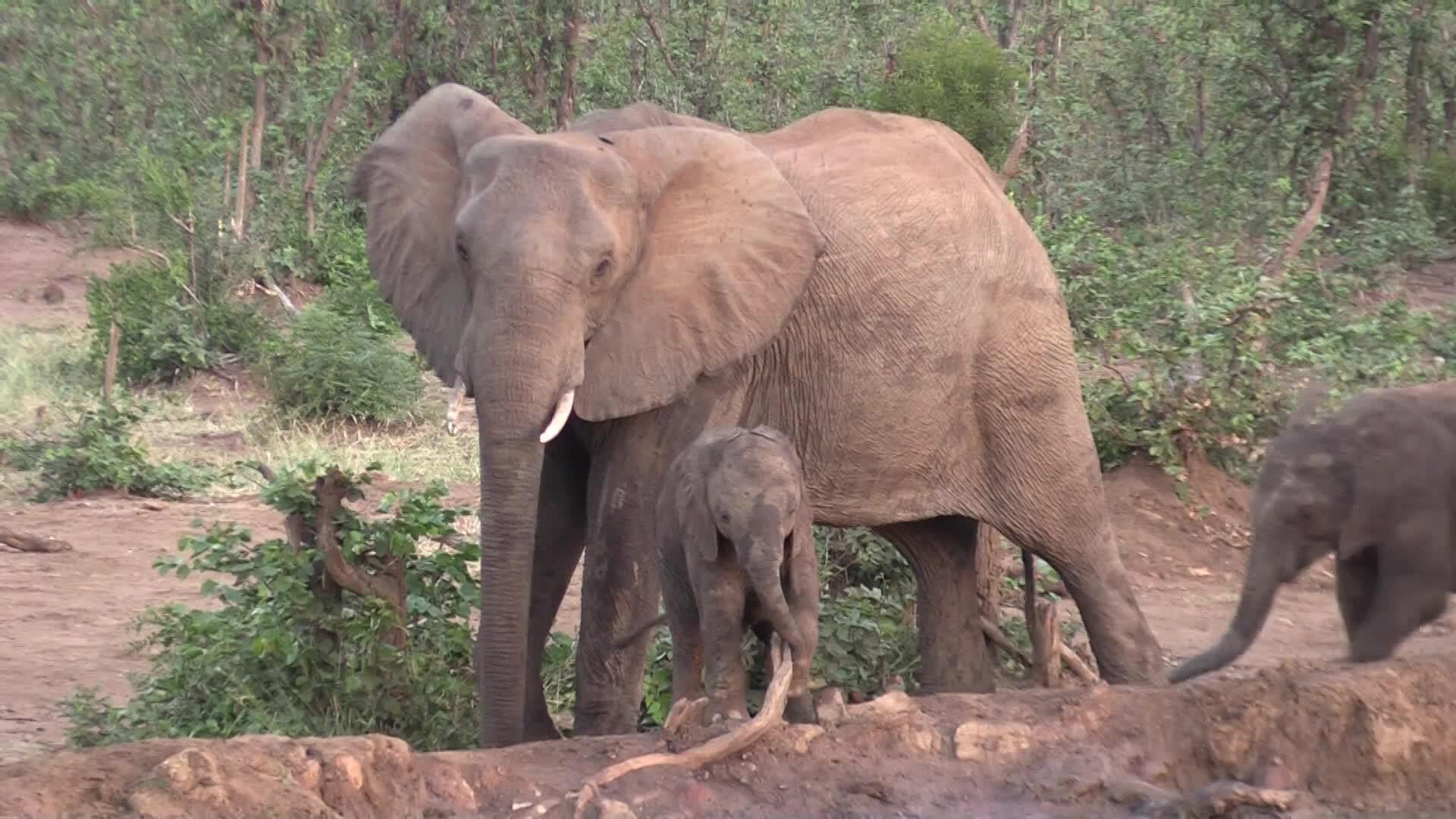 Elephant behaviour., Tony Donnelly, Travel & Events, 00326 GIFs